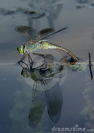 Dragonfly on the water