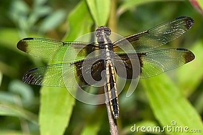 Dragonfly, Widow Skimmer