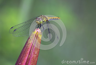 Dragonfly yellow (S. flaveolum).