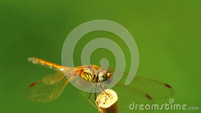 Dragonfly Yellow Winged Darter Insect Close Up Footage stock video footage