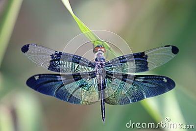 Dragonfly z pięknym skrzydłem