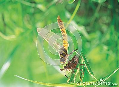 Dragonfly z skórą
