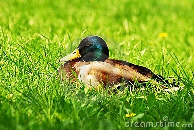 Drake in grass