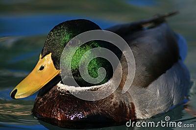 Drake mallard floats on blue water