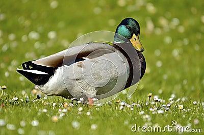 Drake mallard on grass