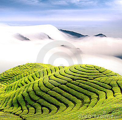 Free Dramatic Clouds And Tea Garden Royalty Free Stock Image - 23975376