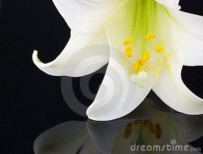 Dramatic Easter Lily on Black
