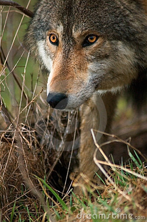 Free Dramatic Lighting Timber Wolf Stock Photo - 2344210