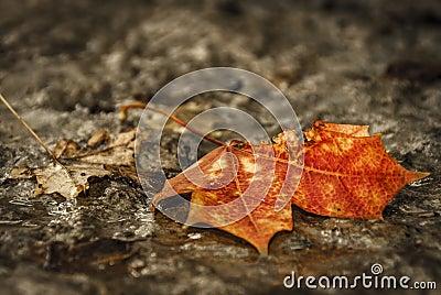 Dramatic maple-leaf
