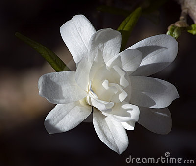 Dramatically Lit Star Magnolia (Magnolia stellata - Royal Star)