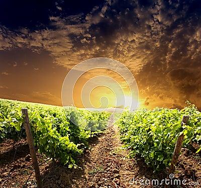 Dramatisk vingård