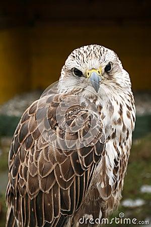 Drapieżny ptak