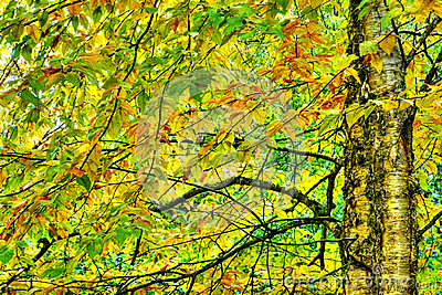 Drastisches hdr der gelben Birke während des Falles