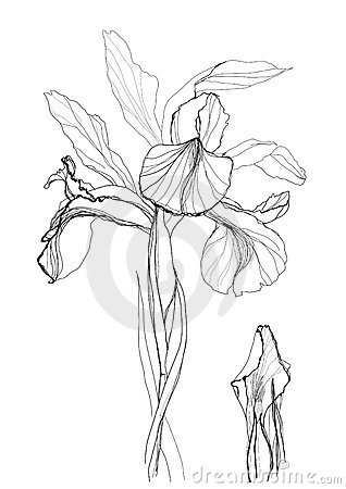Drawing Iris Stock Photo Image 15560220