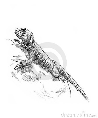 Drawing of a lizard