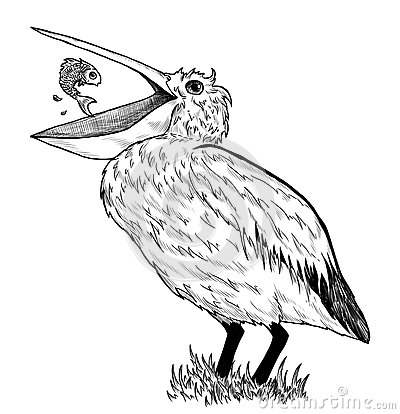 Drawing of pelican with fish