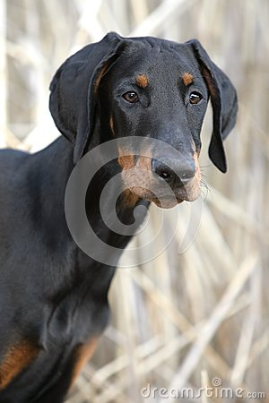 Dreaming Doberman puppy