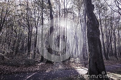 Dreamy woodland with sunbeams at sunrise Stock Photo