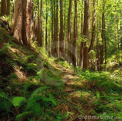 Dreamy California Redwoods