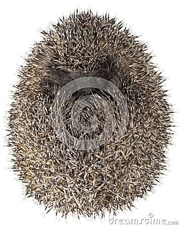 Dreamy Hedgehog