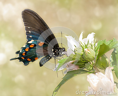 Dreamy image of a Pipevine Swallowtail butterfly