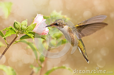 Dreamy image of a young Hummingbird