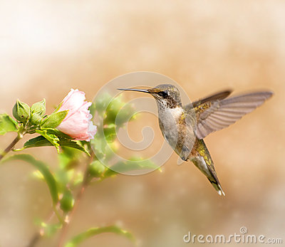 Dreamy image of a young male Hummingbird