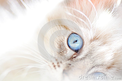 Dreamy soft abstract background white fluffy cat