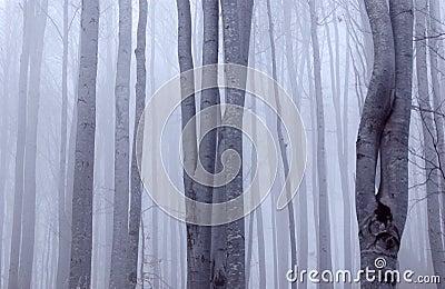Dreary beech forest