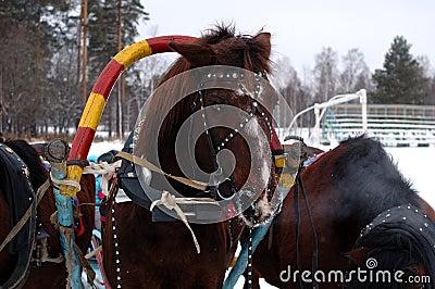 Drei Pferde nebeneinander vorgespannt (Troika).