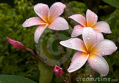 Drenched Plumeria