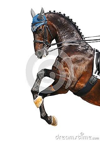 Dressage: caballo de Hanoverian de la bahía
