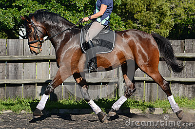 Dressage Hanoverian horse