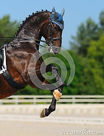 Dressage konia tyły