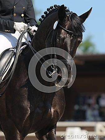 Dressage: portrait of black horse