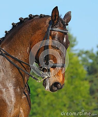 Dressage: Portrait des Schachtpferds