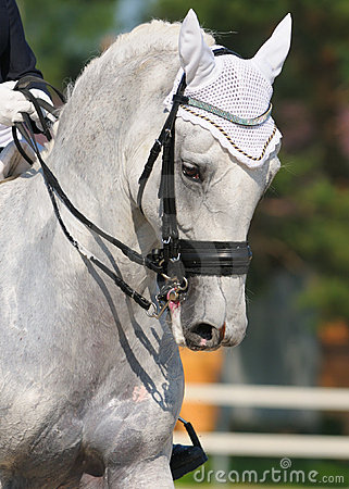 Dressage: portrait of gray horse