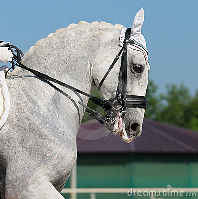 Dressage: portrait of gray horse