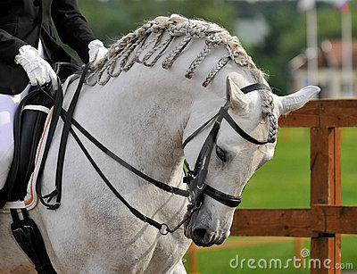 Dressage pura raza espanola andalusian horse