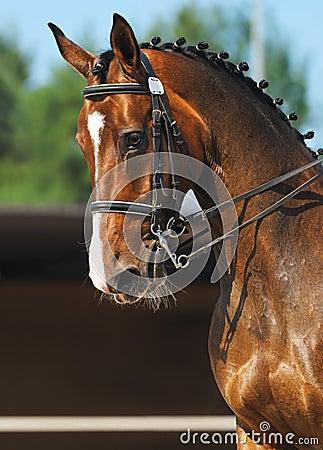 Dressage: retrato del caballo de bahía