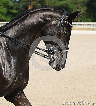Dressage: retrato del caballo negro