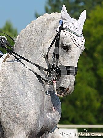 Dressage: retrato do cavalo cinzento