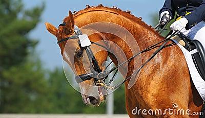 Dressage: retrato do cavalo do sorrel