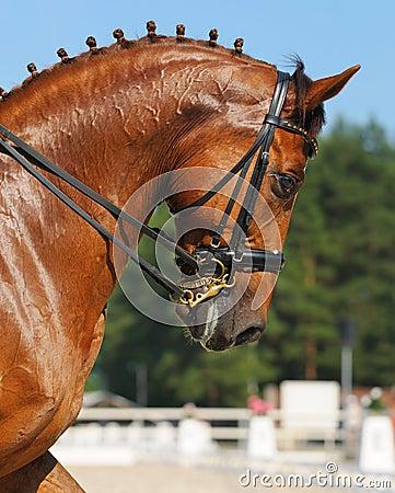 Dressage: ritratto del cavallo dell acetosa