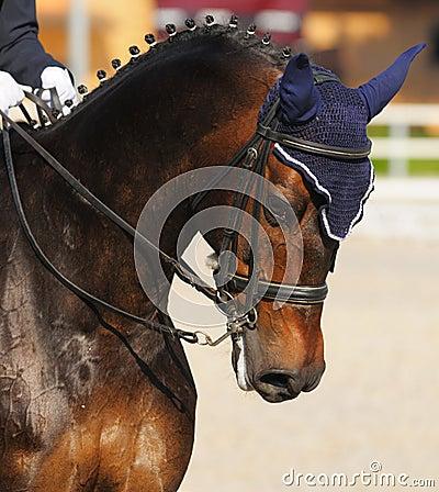 Dressage: ritratto del cavallo di baia