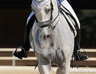Dressage : verticale de cheval gris