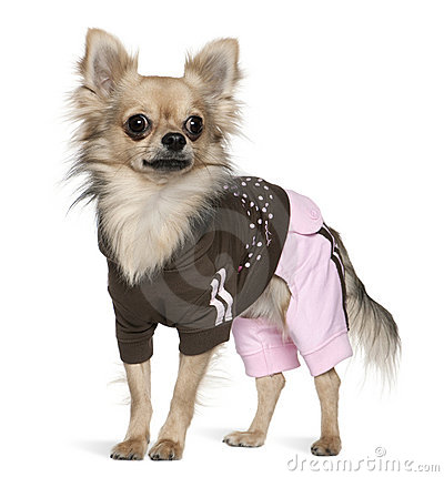 Dressed Chihuahua, 1 year old, standing