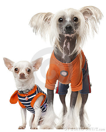Dressed Chihuahua and Chinese Crested dog