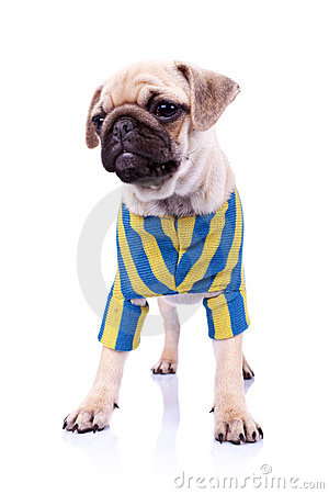 Dressed standing  pug puppy dog looking to a side