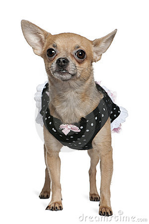 Dressed up Chihuahua, 3 years old